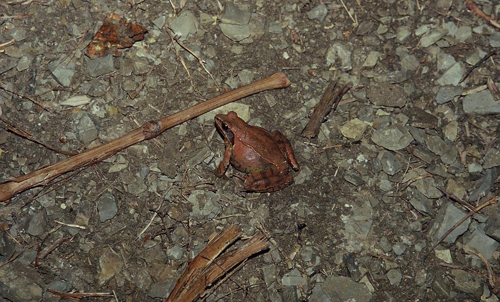 Rana dalmatina (Rana dalmatina) durante la migrazione riproduttiva nei pressi di una strada (si noti il ventre gonfio di uova)