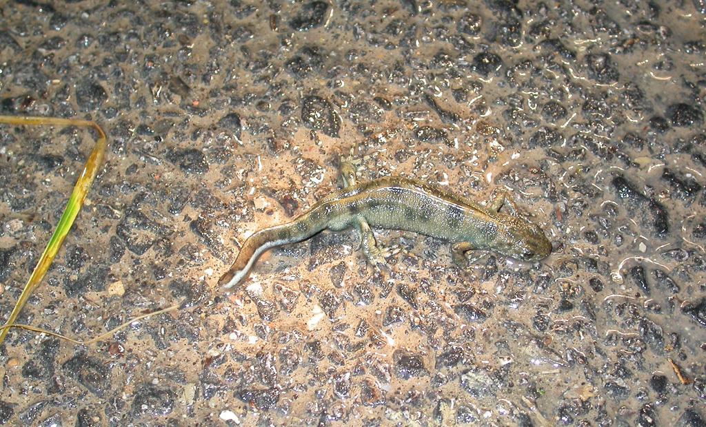 Un Tritone crestato (Triturus carnifex) mentre attraversa una strada asfaltata durante la migrazione riproduttiva.